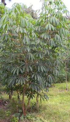 CassavaWholePlant