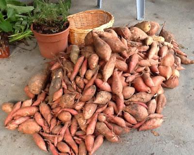 sweet potato easy to grow big pile
