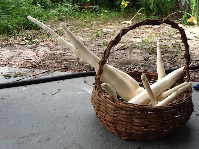 CassavaHarvest2012