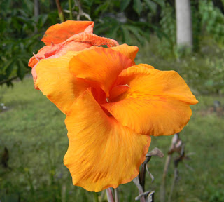 edible canna lily bloom