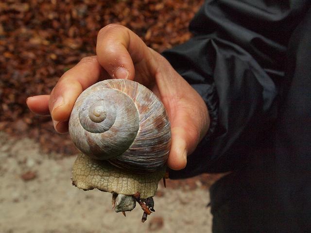 edible molluscs