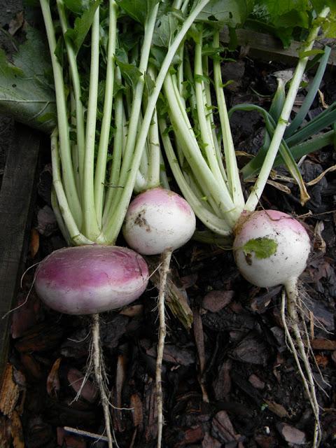 Turnips: staple survival crops