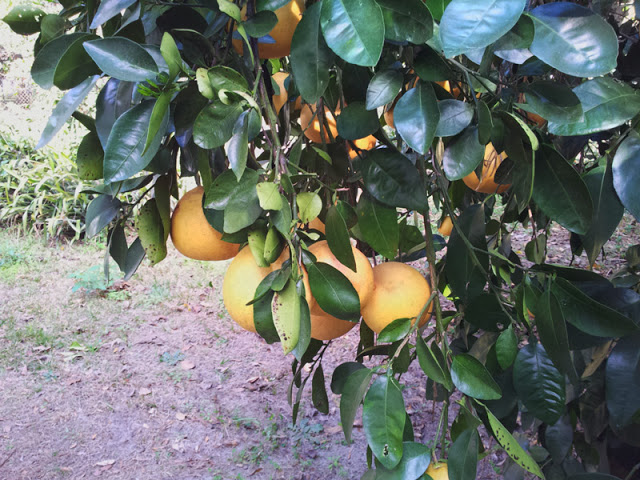 growing fruit trees from seed