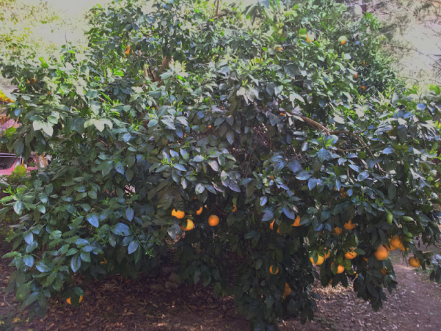 GrapefruitFromSeed-Tree3