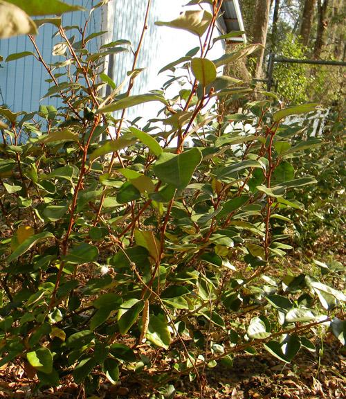 silverthorn berries edible