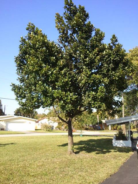 growing jackfruit in florida