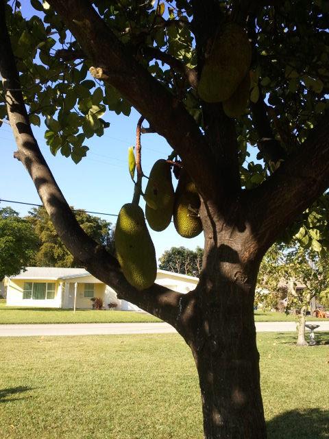 grow jackfruit in florida