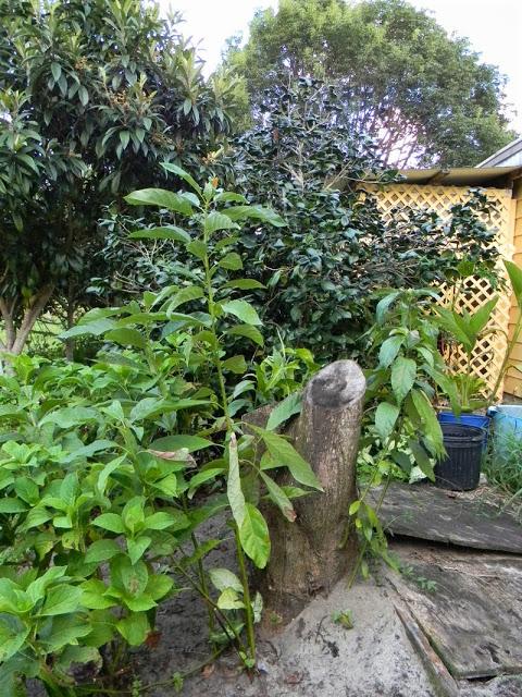 laurel wilt killing avocado trees