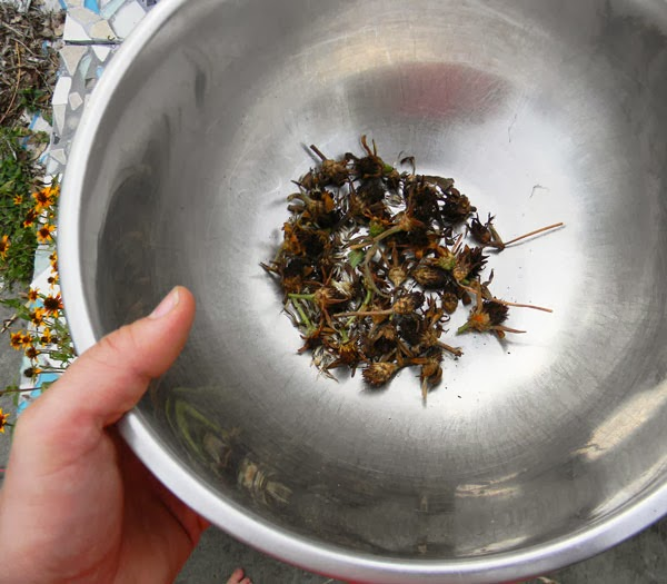 collecting seeds from zinnia
