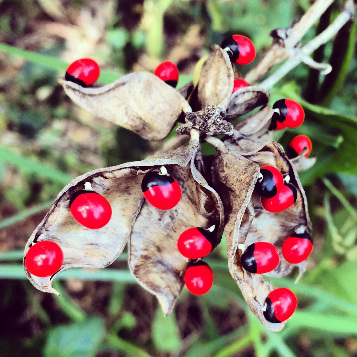 Image result for The Rosary Pea