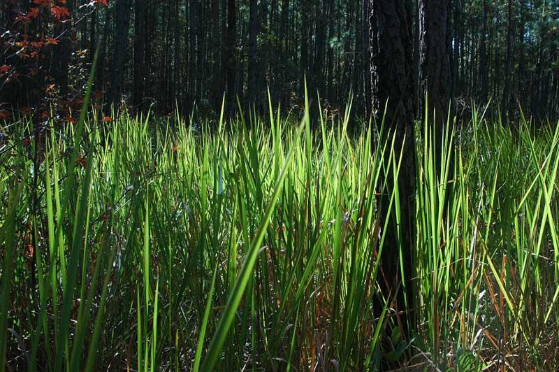 cogon grass thesis