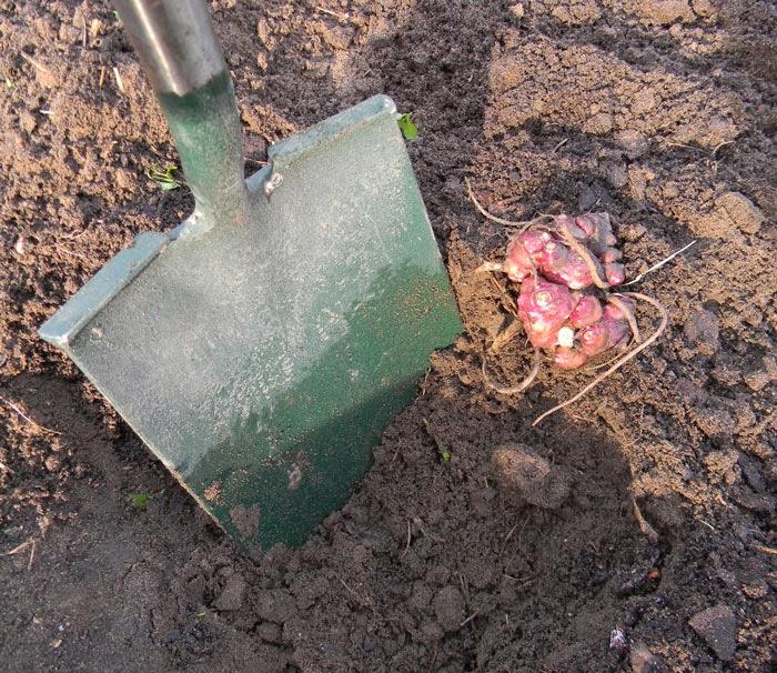 planting yacon