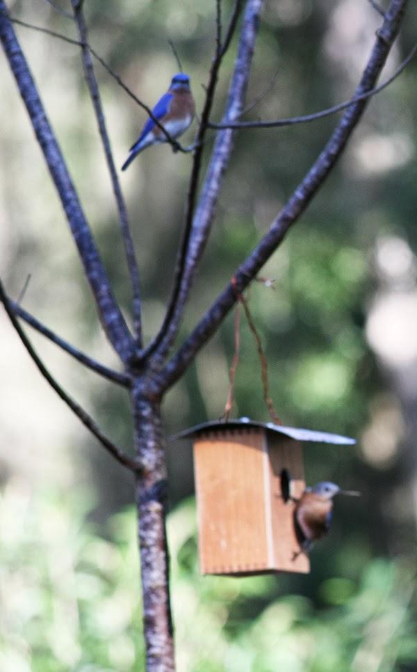 bluuebirds find a cigar box bluebird nest