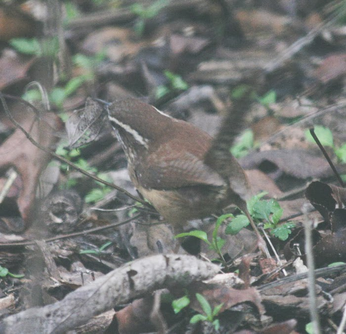 carolina wren ID