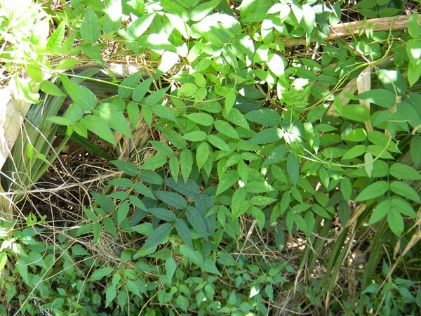 groundnut vines