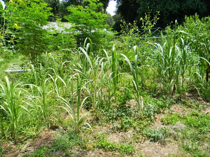 SugarcaneBedJuly1
