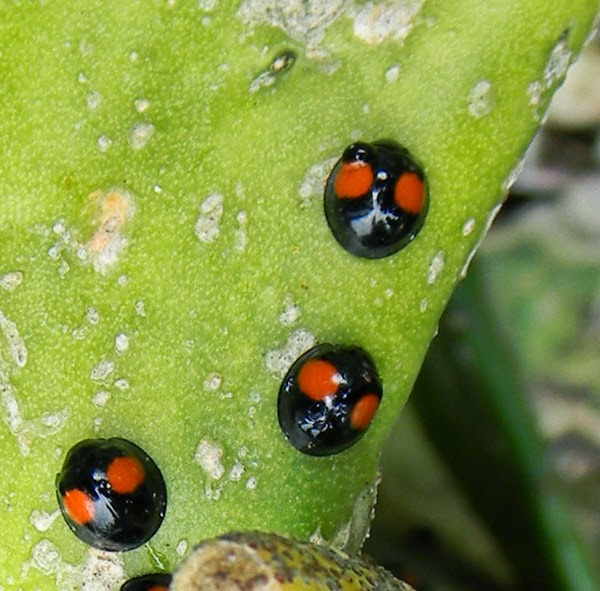 a twice stabbed lady beetle convention