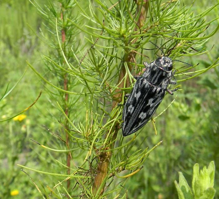 pine borer