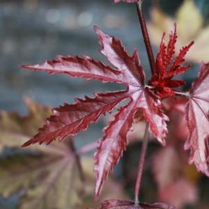 CranberryHibiscusLEaf
