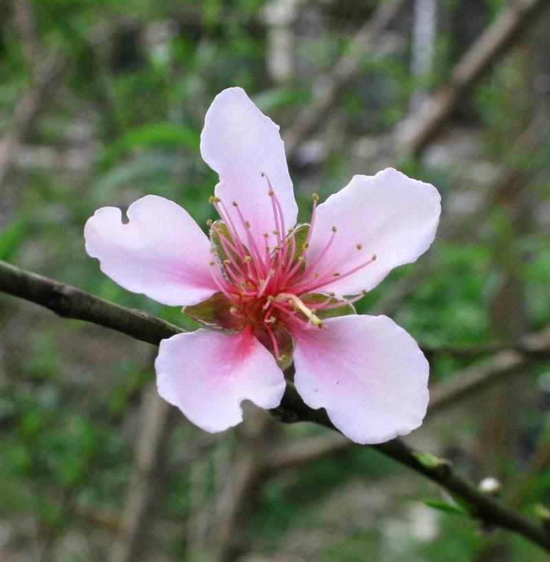 PeachBlossom2