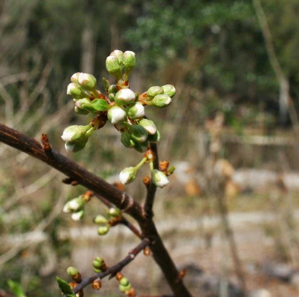 Peaches archives the survival gardener - Graft plum tree tips ...