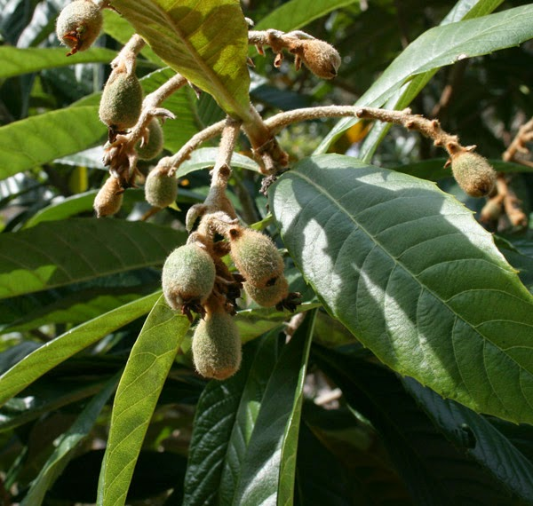 loquat fruit growing on a loquat tree