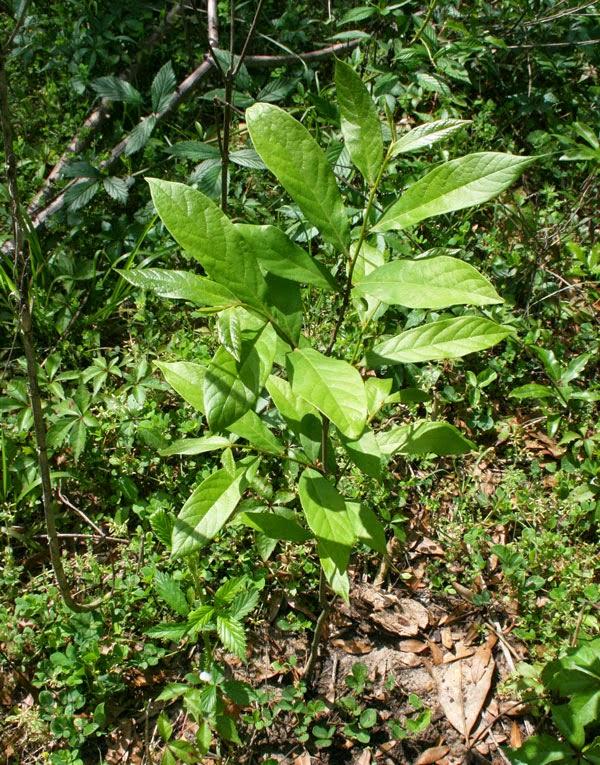 a small asimina parviflora pawpaw tree