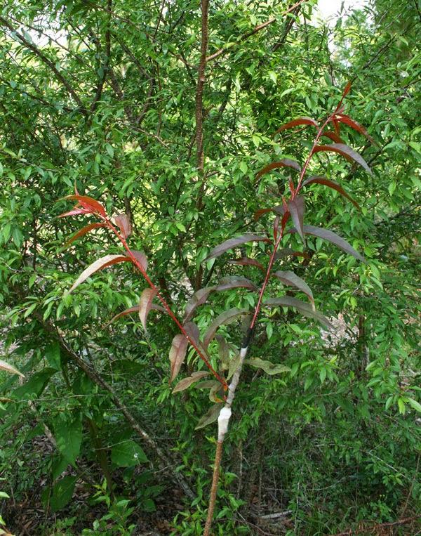 nectarine chickasaw plum grafts