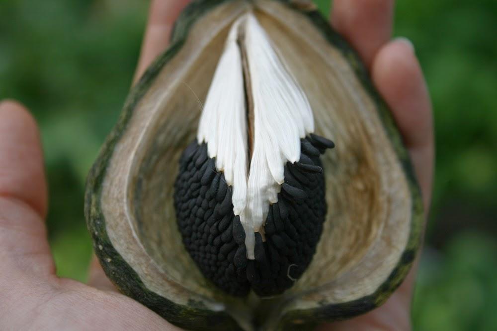 milkweed strangler vine seeds