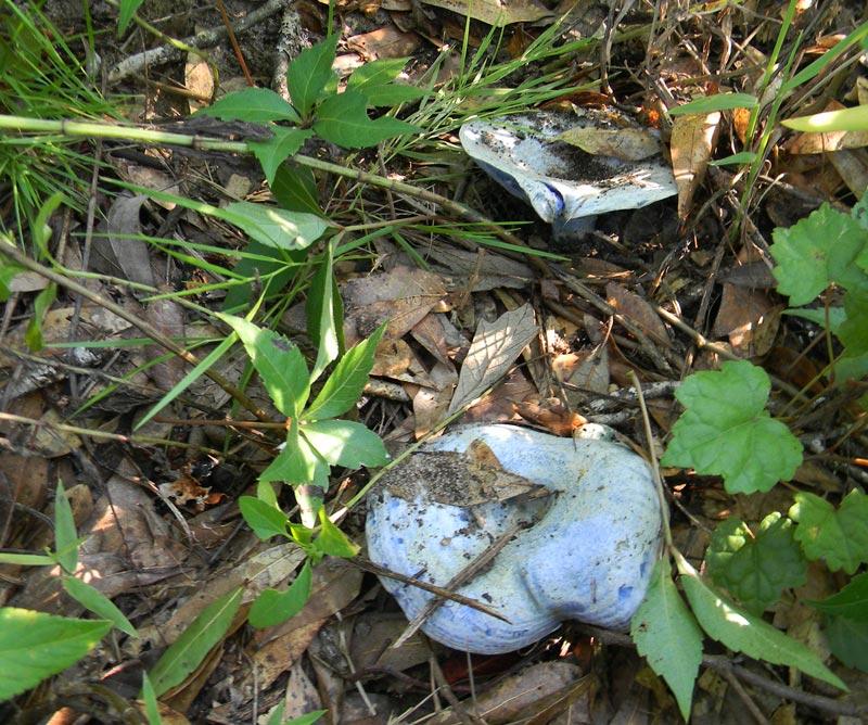 Lactarius_Indigo_Blue_Mushroom_Edible