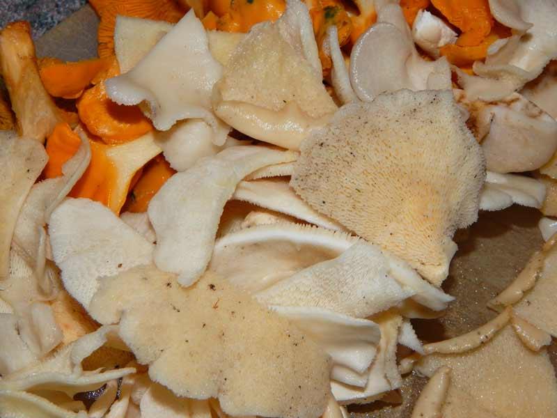 Polyporus_tenuiculus edible mushroom