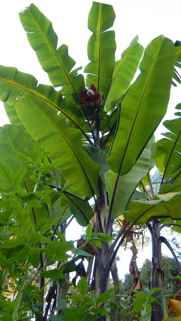 Thai Black Banana Fruit The Survival Gardener
