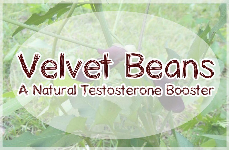 valvet beans natural testosterone booster