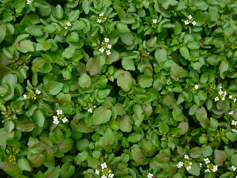 Watercress well-known aquatic vegetable