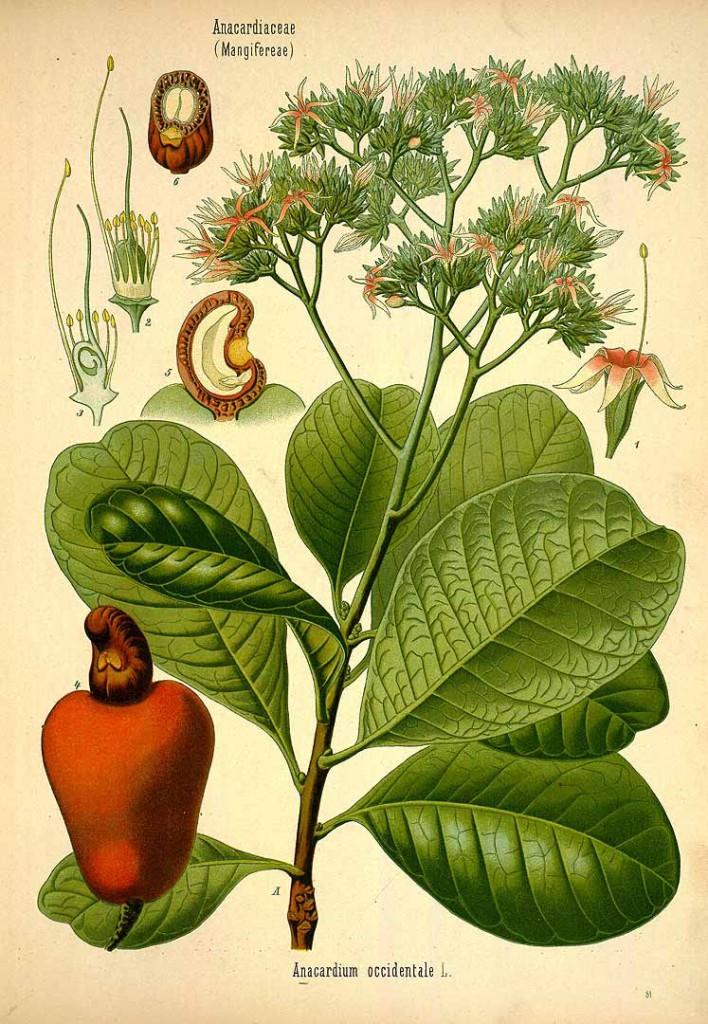 growing cashews illustration