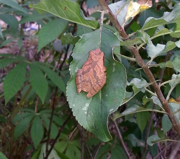 Copper_Frog