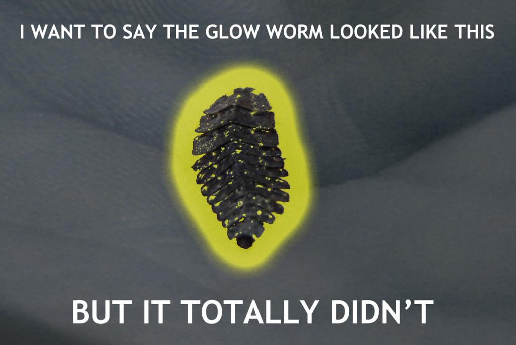 Florida_Glow_Worm3