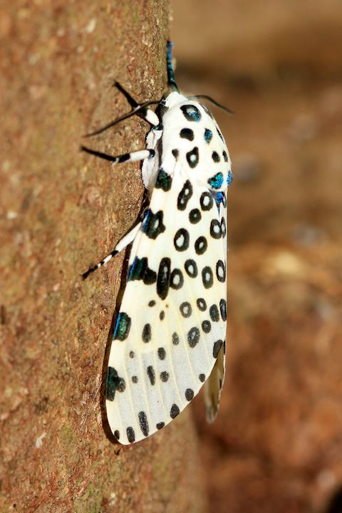 Giant-Leopard-Moth-2011-06-27-at-14-09-49