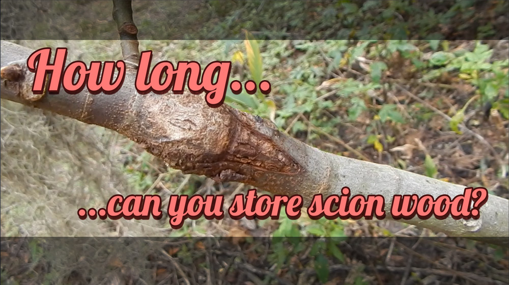 how long can you store scion wood
