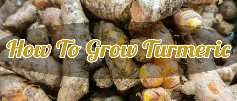 how to grow turmeric image