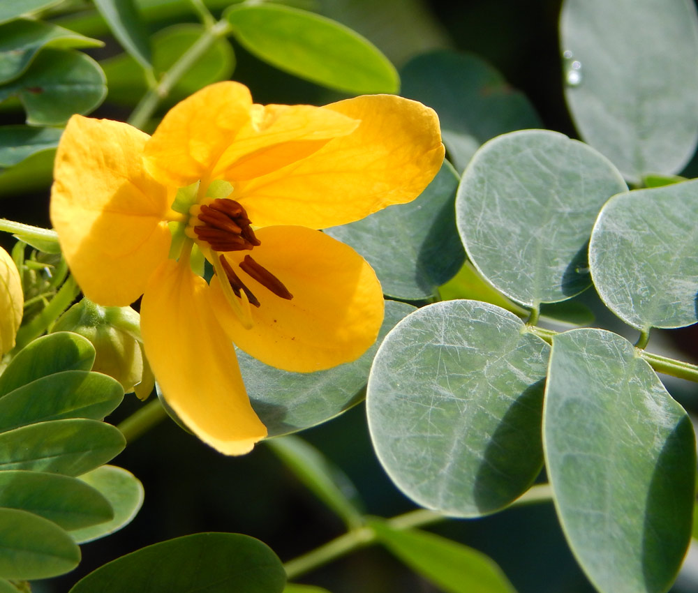 South_FL_Food_Forest_Cassia