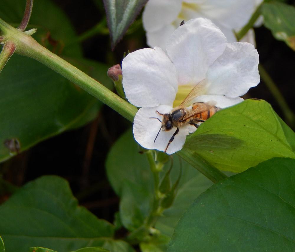South_FL_Food_Forest_Honeybee