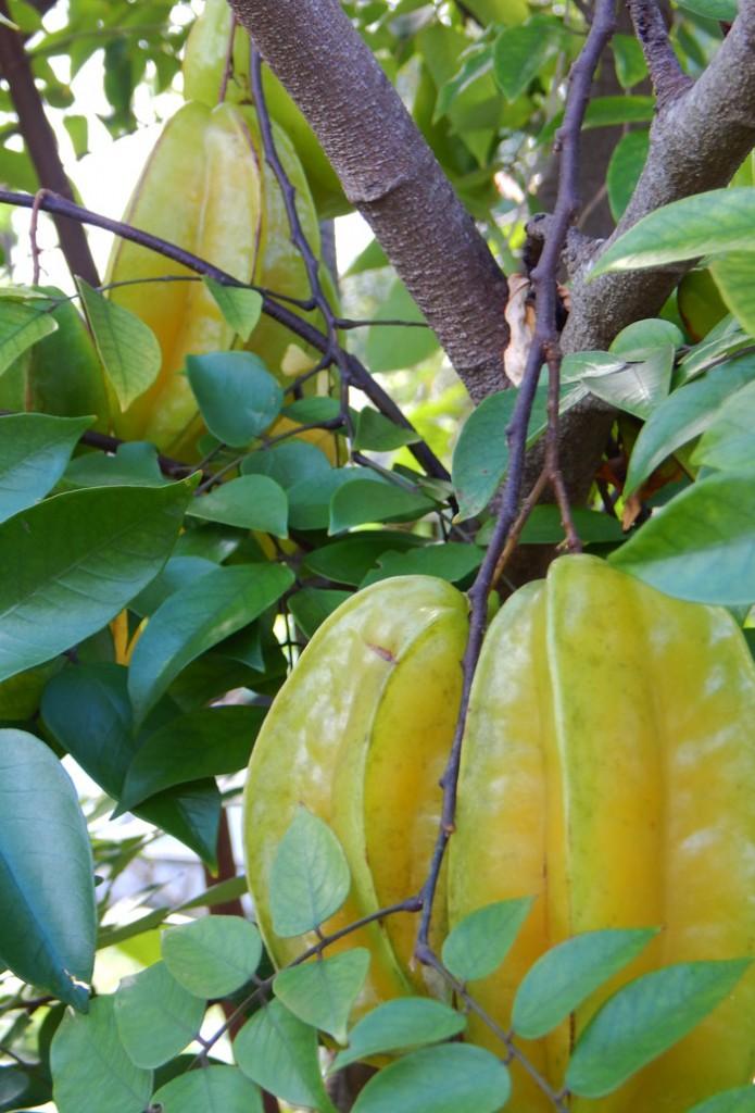 South_FL_Food_Forest_Starfruit2
