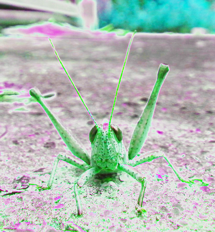 Cute_Little_Grasshopper_Radiation_web
