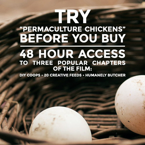 permaculture-chickens-C