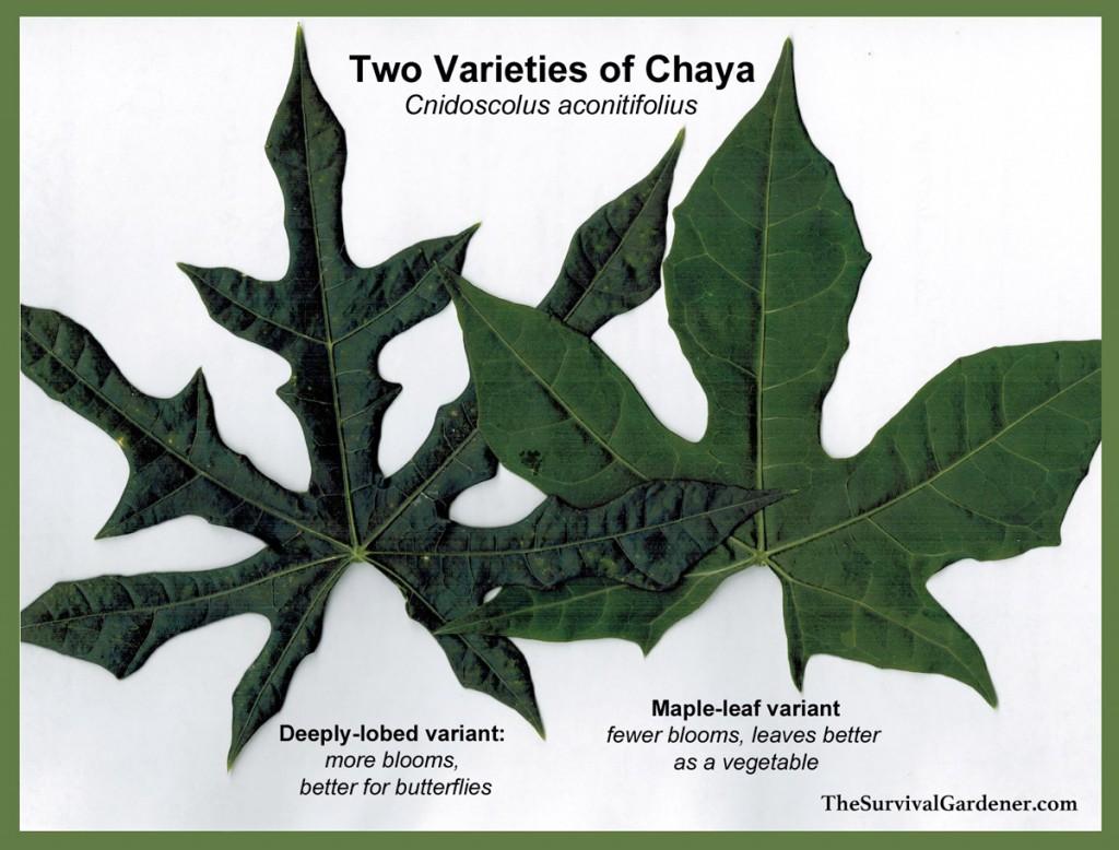 Chaya_Varieties
