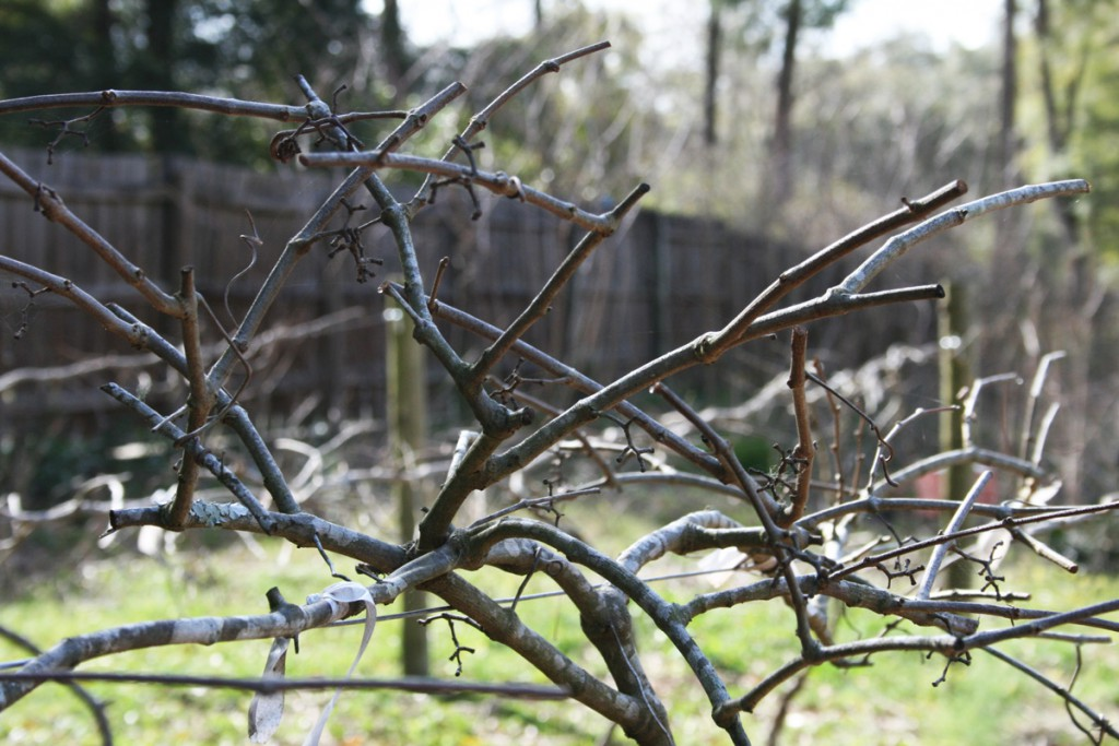 Pruned_Grape_Vines