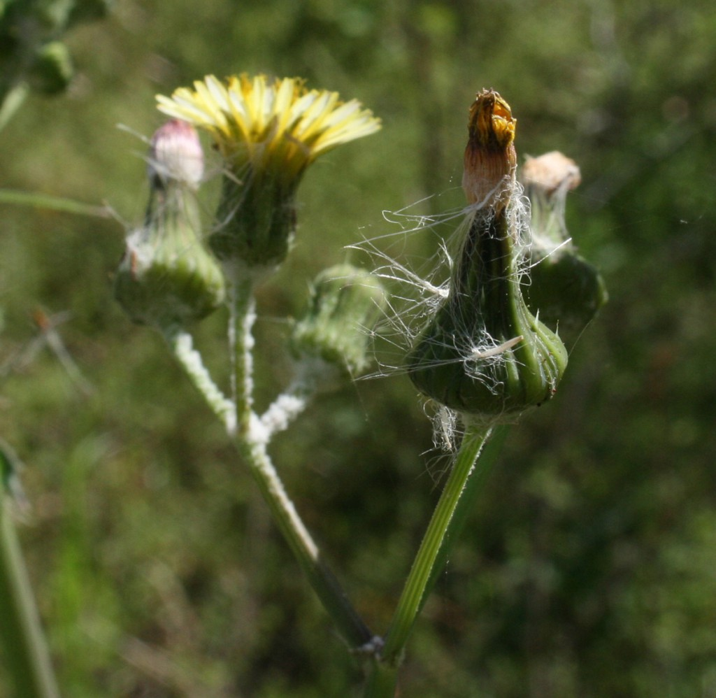 Thistle_Blooms_3