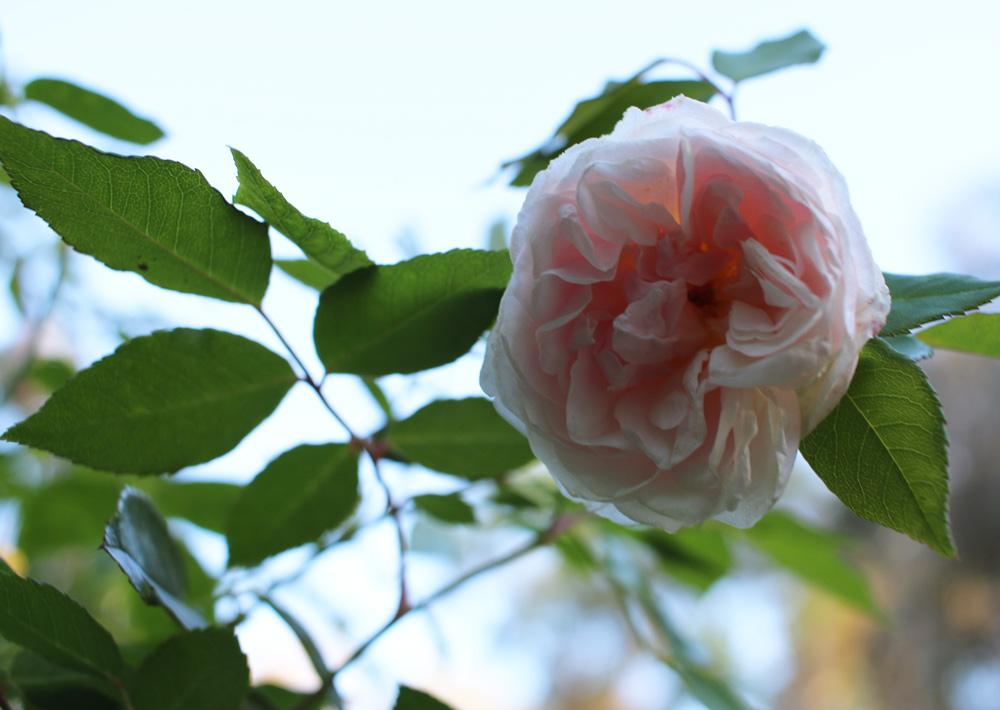 Bermuda_Spice_Rose