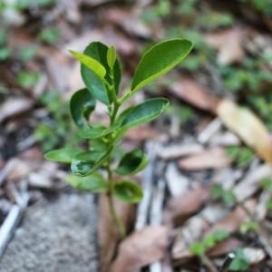 Citrus_Sprout